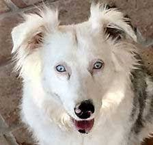 australian shepherd double coat lethal white double merle