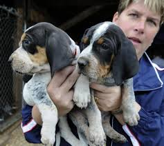 bluetick coonhound westminster 17 best images about blue tic hounds on pinterest beautiful
