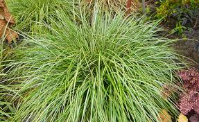 ornamental grasses dennis 7 dees