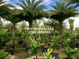 sylvester palm tree sale sylvester palm trees palm nursery 786 255 2832 we deliver