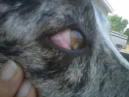 australian shepherd eye diseases dog eye redness bulging eye and outside swelling