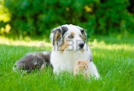 cat with australian shepherd cat grass stock photos royalty free cat grass images and pictures