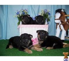 belgian sheepdog puppies for sale in michigan german shepherd dog puppies and dogs for sale in usa