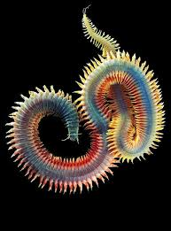 10 best phylum annalida images on pinterest worms zoology and