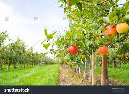 apple orchard stock photo 63543901 shutterstock