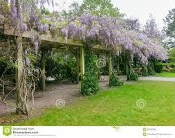 wisteria bloom spring stock photo image 56043330