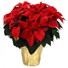 Casablanca Flower - all flowers delivery flower delivery casablanca online