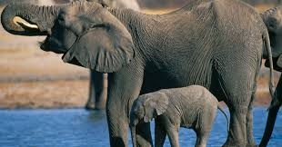 interior department twitter ban trump to lift ban on import of elephant trophies from 2 african