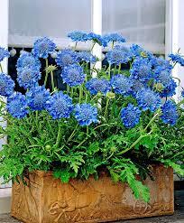 25 trending blue plants ideas on pinterest blue succulents
