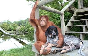 bluetick coonhound pitbull mix suryia u0026 roscoe the unlikely friendship between an orangutan u0026 a