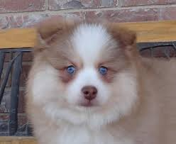 what is a spitz type pomsky