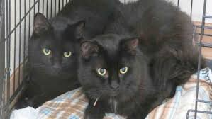 black friday pet adoption shelters waive adoption fees for black cats ahead of black friday