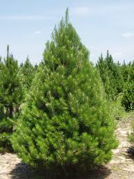 native plants of michigan list of trees in michigan michigan grown evergreen trees balled
