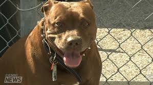 american pitbull terrier illegal ontario u0027s pit bull ban 10 years later chch