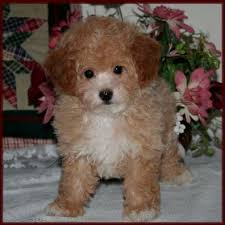 bichon frise dog breeders bichon poodle puppies for sale poochon dog breeders iowa