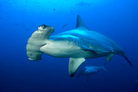 5 interesting facts about scalloped hammerheads hayden u0027s animal