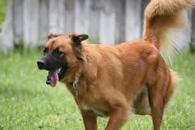 belgian sheepdog golden retriever mix what are the most popular german shepherd mixes shepped com