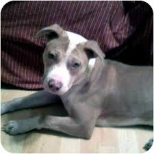 american pitbull terrier mix american pitbull terrier bloodlines pit bull chat forum