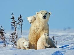polar bear roundup 9 polar bear stories