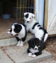 bearded collie adoption oakville collie dogs puppies for sale classifieds at
