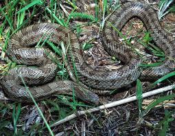 prairie kingsnake prairie king snake mdc discover nature