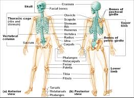 Anatomy And Physiology Of The Back Picture Of Human Skeleton Back Human Anatomy And Physiology 3