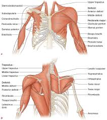 Right Side Human Anatomy Muscles Movement Analysis And Mat Work Pilates Anatomy