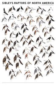sibley u0027s raptors of north america david allen sibley nhbs shop