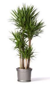 best 25 yucca tree ideas on pinterest trees beautiful old