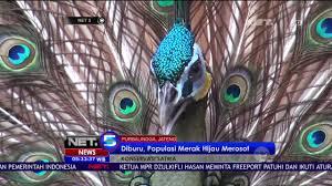 merak biru penangkaran burung merak hijau di purbalingga net24 youtube