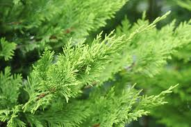 leyland cypress care tips for growing a leyland cypress tree