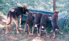 Bench Kelpie Puppies Sale Kelpie Australian Working Kelpies Kept As Pets Stephen And Mary
