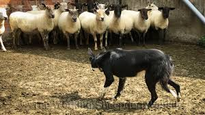 free sheepdog training video tutorial dvd article and advice