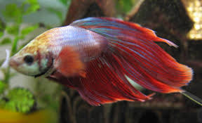 types of aquarium anabantoidei wikipedia the free encyclopedia bettas and other