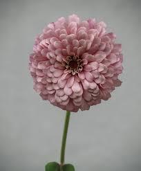 Zinnia Flower Free Photo Pink Zinnia Pale Flower Petals Summer Max Pixel