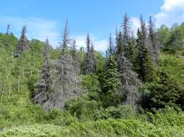Wildfires In Bc July 2014 by Bark Beetles And Wildfires U2013 Biobus