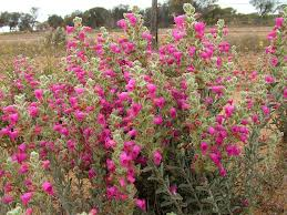 native plants of western australia pityrodia terminalis u2013 native foxglove gardening with angus