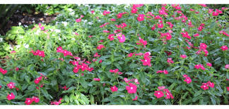 vinca flowers vinca annual costa farms