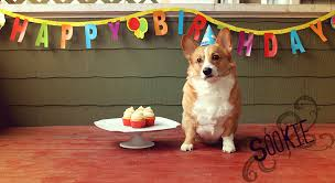 Corgi Birthday Meme - it s my birthday have some birthday corgis album on imgur