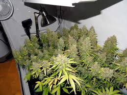 how well would a plant grow under pure yellow light grow 4 7 oz with a 250w hps beginner tutorial grow weed easy