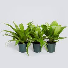 Fragrant Indoor Plants Low Light - 21 best pet friendly plants images on pinterest indoor plants