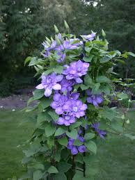 blue light clematis flowering vine flowers to grow pinterest