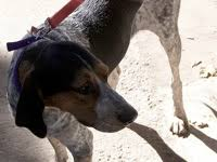 bluetick coonhound kennels in ga alabama bluetick coonhound rescue u2015 adoptions u2015 rescueme org