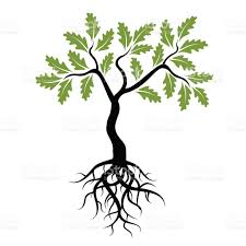 vector young green oak tree with roots stock vector art 479391864