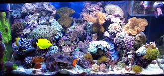 Saltwater Aquascaping Will Algae Be A Problem In My Saltwater Reef Aquarium