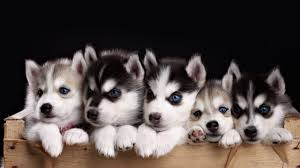 impossibly cute husky puppies youtube