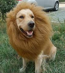 Big Dog Halloween Costume Lion Mane Dog Costume Boudreaux Gunnar Puppies
