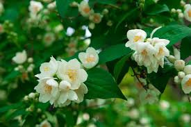 Most Fragrant Plants - top 10 fragrant flowers in india scented flowers smelling flowers