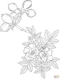 wild rose coloring page free printable coloring pages