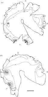 the visual ecology of a deep sea fish the escolar lepidocybium